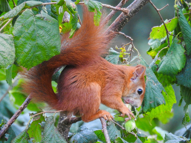 Food Plant Portrait Eating Tree Beauty In Nature Beauty Forest Squirrel Domestic Animals Outdoors Nature Close-up No People Animal Wildlife Animals In The Wild Animal Themes One Animal Animal Nikon Photography Nikon Nikonphotography Nikon P900