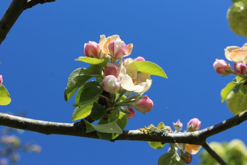 Beauty In Nature Flower Branch Outdoors Nature France Saint Cosme En Vairais Apple