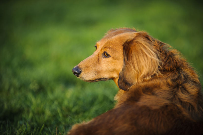 Miniature dachshund looking away while resting on grassy field