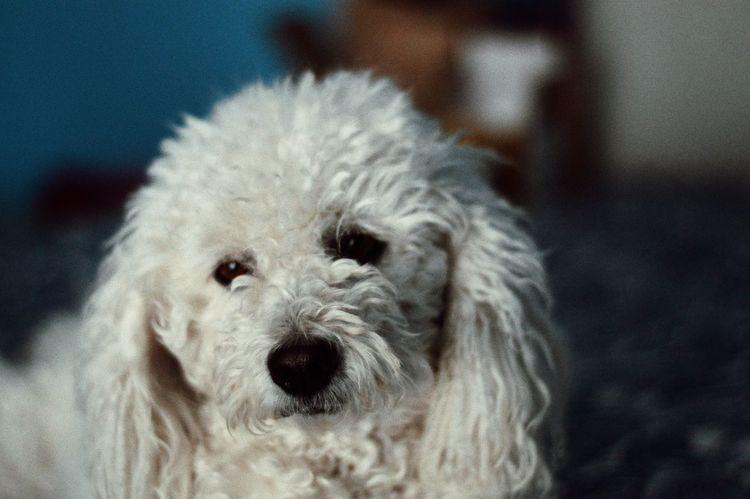 Dog Dogs Poodle Pet Pets Sadness Moody Vintage Fresh Tones Colors Film Film Shot