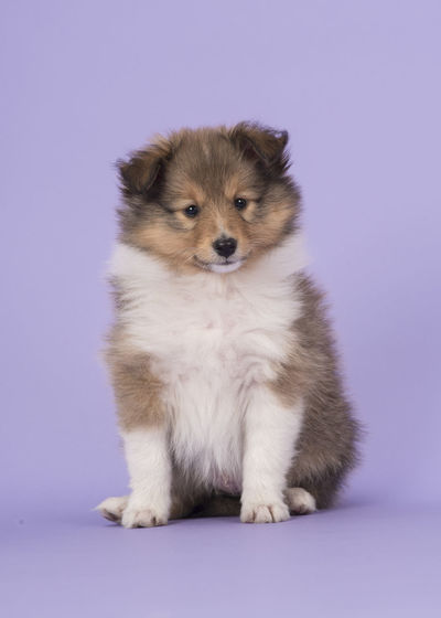 Cute sitting shetland sheepdog puppy dog on a purple lavender background looking at the camera Animal Themes Cute Dog Domestic Animals Full Length Looking At Camera One Animal Pets Puppy Purple Background Sheltie Sheltie Puppy Sheltiesheepdog Shetland Sheepdog Sitting Studio Shot Young Animal