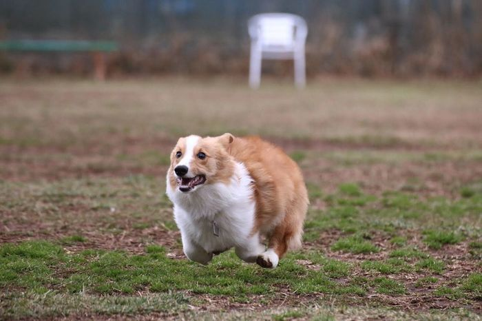 Pet Portraits Dog Pets One Animal Animal Themes Grass No People Pet Photography  Pembroke Welsh Corgi Welsh Corgi Day Frying Running Dog Running