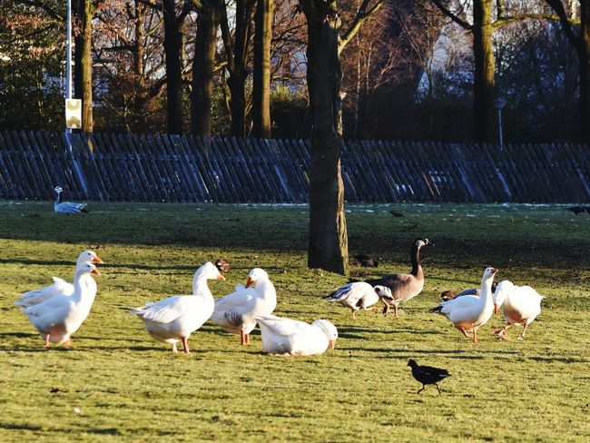 Geese Animal Themes Nature Sunshine Park Warande Helmond Birds Winter