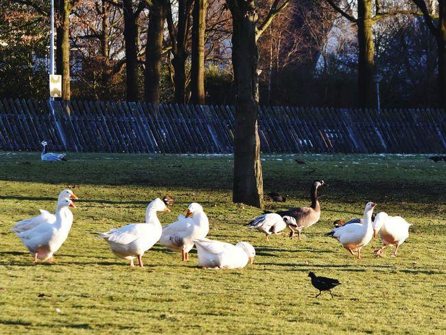 Geese Animal Themes Nature Sunshine Park Warande Helmond Birds Winter