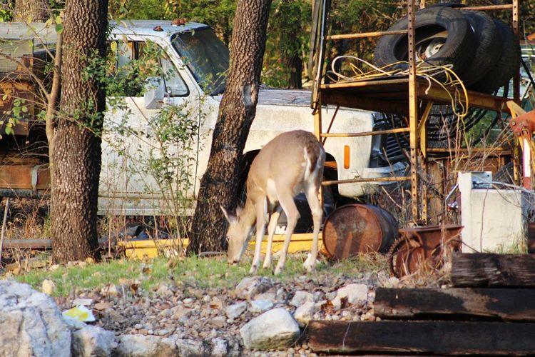 lawnmower au natural. Deer Deer Moments EyeEm Selects Grazing Young Animal Livestock Herbivorous