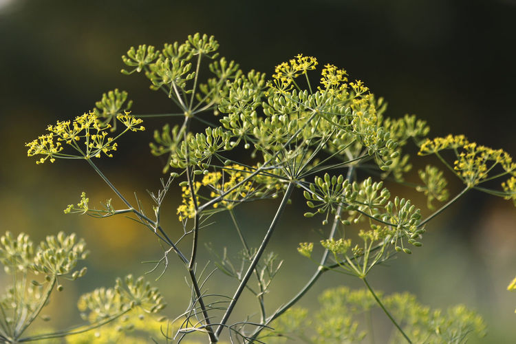 Dill flowers in green and yellow Growth Focus On Foreground Green Color Nature No People Plant Part Leaf Flowering Plant Day Flower Freshness Selective Focus Outdoors Sunlight Flower Head Dill Dill Flower Warmth Yellow And Green