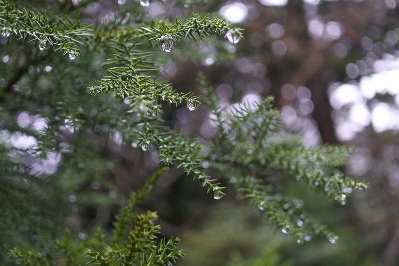 雫 Water Tree