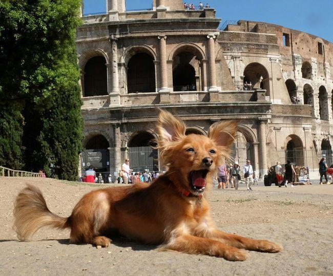 Dog yawning against colosseum