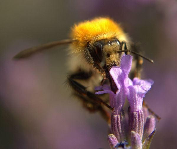 Close-up of honey bee pollinating lavender flower during sunny day