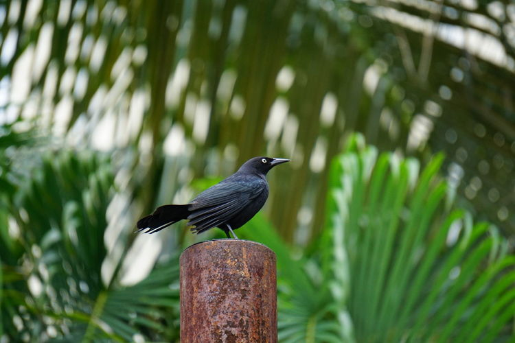 Greater Antillean Grackle Animals In The Wild Beauty In Nature Bird Grackle Grand Cayman Nature Perching