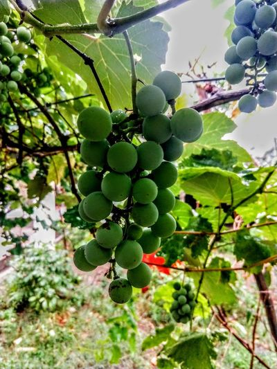 ❣️ monsoon tym Tree Fruit Leaf Grape Hanging Vine - Plant Close-up Plant Green Color Food And Drink