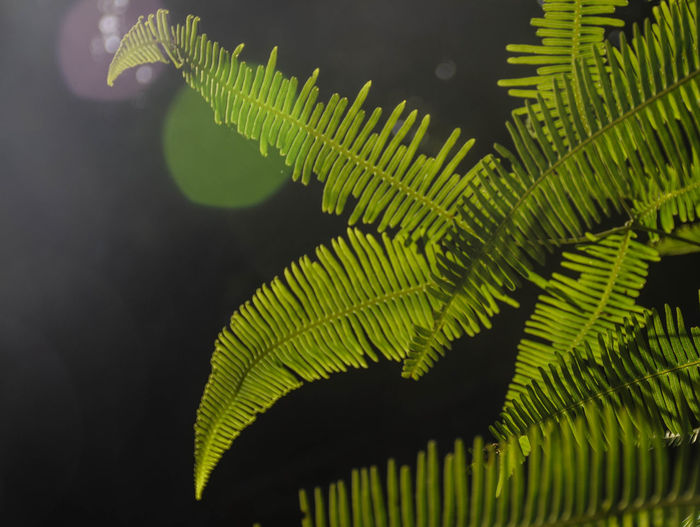 Green fern leaves with sun flare on black background Garden Plant Spring Fling Sun Sun Flare Tropical Green Morning Sunny Background Beauty In Nature Black Botany Branch Close-up Color Day Fern Flare Freshness Green Color Growth Leaf Nature Outdoors