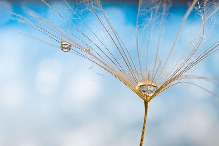 Low angle view of water drop on dandelion against blue sky