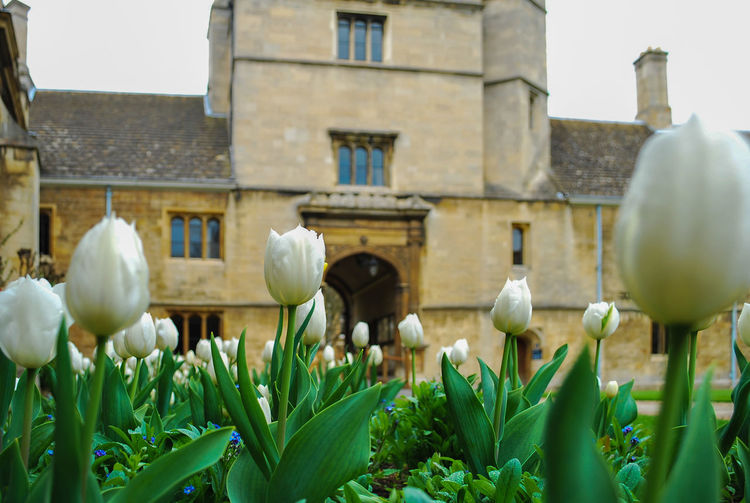 White tulips at historic building