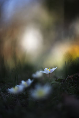 Wood Anemones Beauty In Nature Bokeh Close-up Crocus Day Field Flower Flower Head Flowering Plant Fragility Freshness Growth Inflorescence Land Nature No People Outdoors Petal Plant Selective Focus Vulnerability