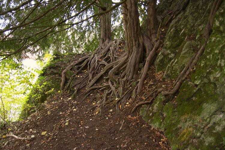 Roots Tree Tree