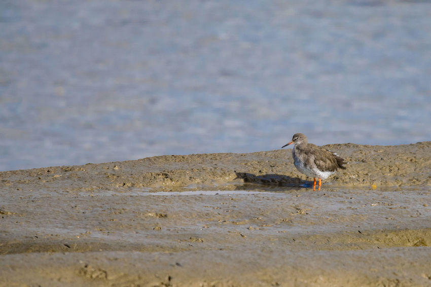 Animal Themes Animal Wildlife Animals In The Wild Beach Bird Day Mammal Nature No People One Animal Outdoors Redshank Redshanks Sparrow