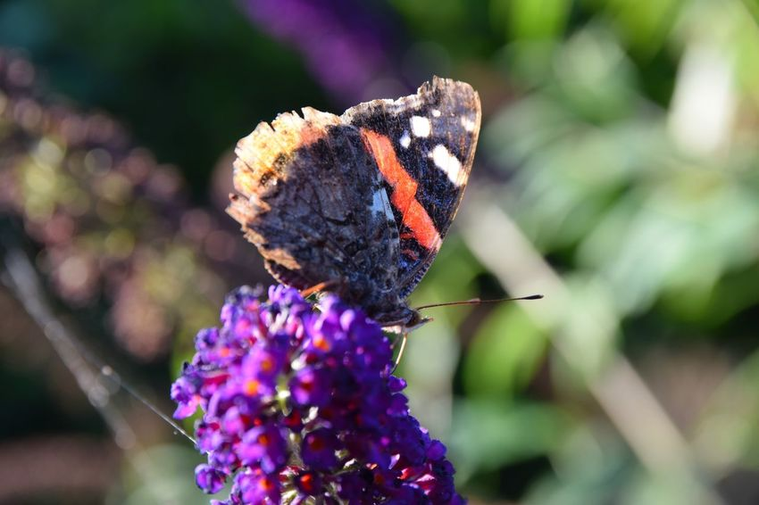 Buddleja Davidii Animal Wing Animals In The Wild Butterfly Butterfly - Insect Butterfly Macro Close Up Close-up Flower Flower Head Flowering Plant Insect Macro No People Old Petal Pollination Red Admiral Red Admiral Butterfly Summer Lilac Wings