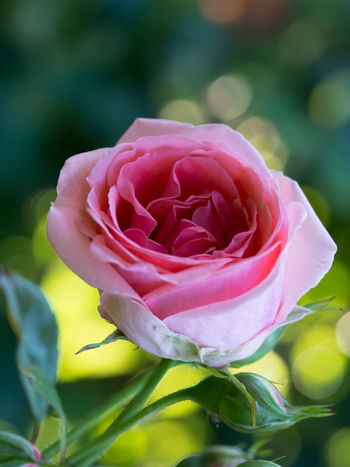 one rose EyeEm Nature Lover Love Symbol Nature Olympus Blooming Blooming Flower Blossom Bokeh In Background Bokeh Photography Edithnerophotography Flora Floral Floral Photography Flower Head Focus On Foreground Fragility Freshness Garden Garden Flowers In Bloom Growth Nature Close-up Petal Pink Color Plant Romantic Symb Rose - Flower