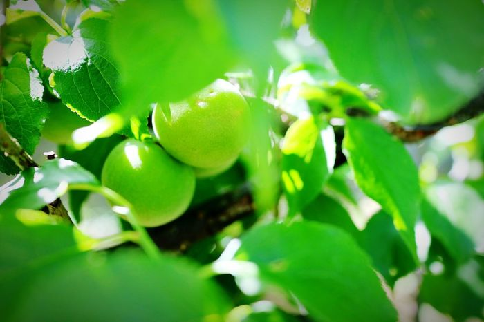 Fruit Leaf Food And Drink Tree Food Citrus Fruit Growth Agriculture Green Color Freshness Healthy Eating Lemon Tree Branch No People Close-up Outdoors Nature Day Plant Beauty In Nature Hamamatsu Japan 浜松 梅