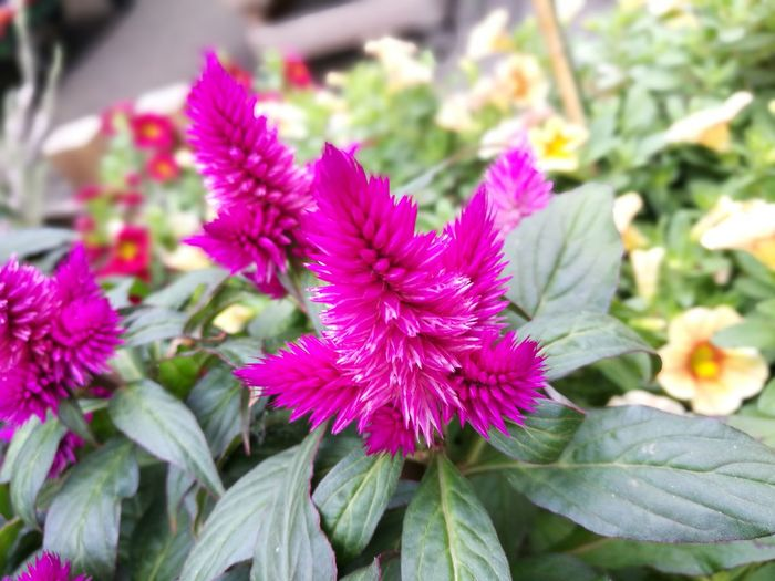 Pink Beauty In Nature Blooming Close-up Day Flower Flower Head Freshness Garden Growth Leaf Nature No People Outdoors Petal Plant Purple Srping