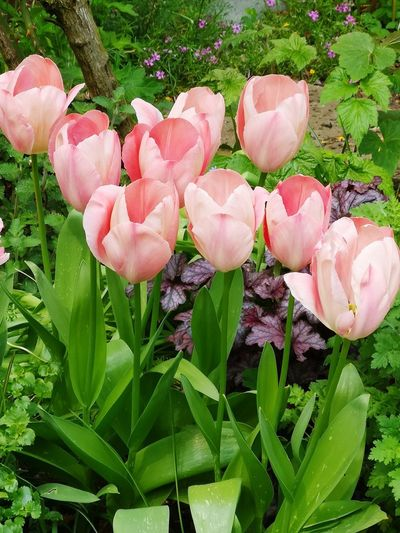 Beautiful tulips... Eyeem Flowers Gallery Eyeem Spring Tulips, Flower, Garden Tulips In The Springtime Flower Head Flower Leaf Pink Color Petal Close-up Plant Blooming Green Color Coral Colored Plant Life Botany In Bloom Softness Growing