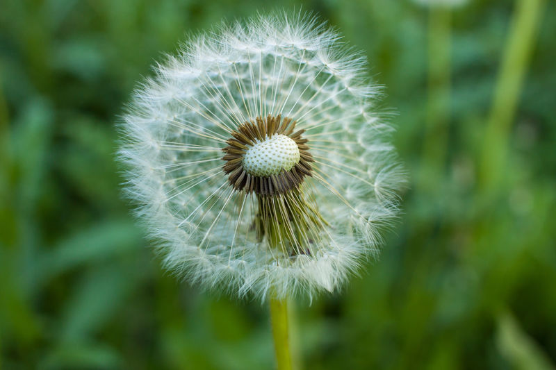 Plant Flower Freshness Flowering Plant Fragility Close-up Vulnerability  Beauty In Nature Growth Dandelion Nature Green Color No People Day Focus On Foreground Outdoors Flower Head Inflorescence Dandelion Seed