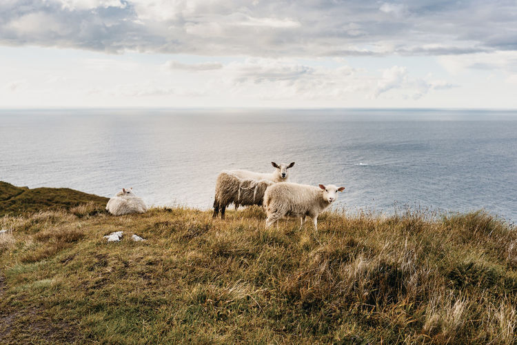 Sheep on the Norwegian coast -in Runde Norway Travel Animal Animal Themes Beauty In Nature Domestic Animals Grass Group Of Animals Herbivorous Horizon Horizon Over Water Land Landscape Livestock Mammal Nature No People Outdoors Pets Sea Sheep Sky Vertebrate Water