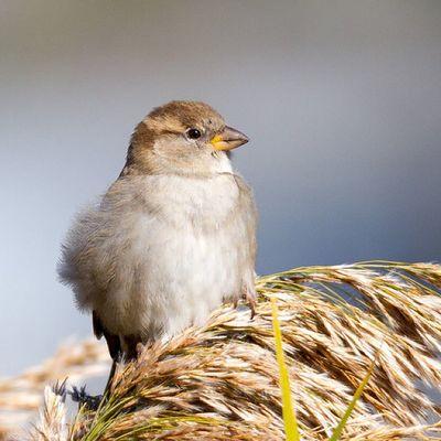 Immature House Sparrow perched on grass Utah Birding Nature Bearriverbirdrefuge