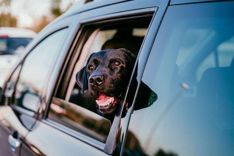 Dog looking through car