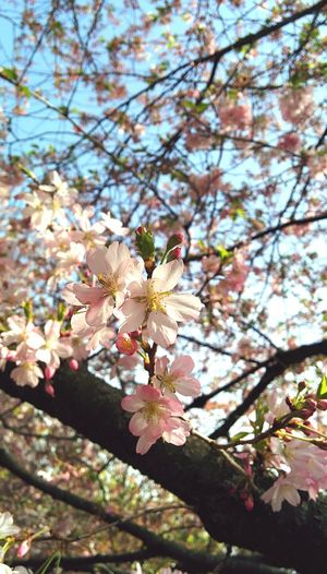 Hugging A Tree Enjoying The Sun Soaking Up The Sun Cherry Tree Flowers,Plants & Garden Flower Macro Flowery Magic Pink Blossoms Cherry Trees In Blossom Pinkish Look Up And Thrive EyeEm Nature Lover Secret Garden