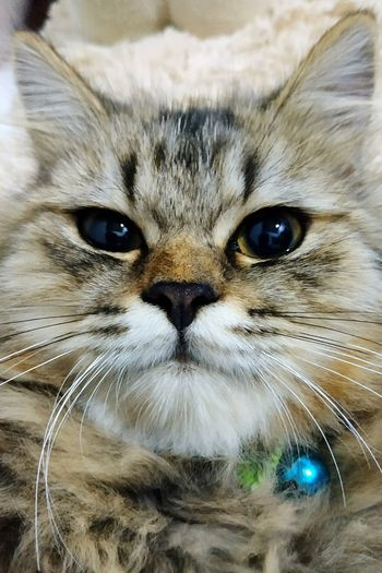 Persian Cat Persian Cat  Pets Portrait Feline Looking At Camera Domestic Cat Whisker Yellow Eyes Close-up Animal Eye Tabby Cat Animal Nose Cat Animal Face Animal Head  At Home