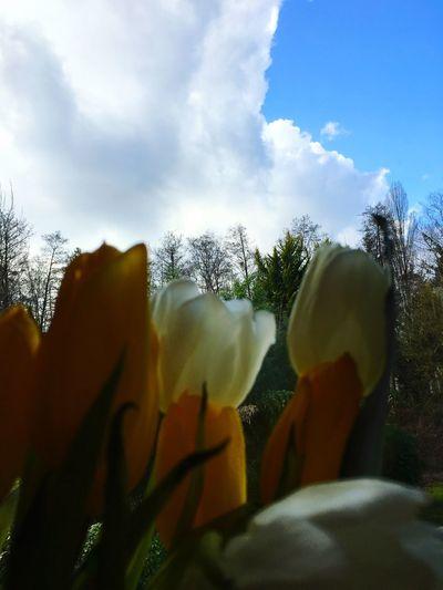EyeEmNewHere Tulipe Flower Color Sky