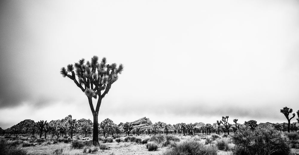 California Dreamin Joshua Tree National Park Beauty In Nature Blackandwhite Clear Sky Day Growth Landscape Nature Scenics Tranquil Scene Tranquility Tree