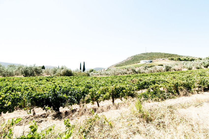 Agriculture Beauty In Nature Clear Sky Cypress Day Farm Field Grape Green Color Growth Krasi,oinos,olive_trees, Landscape Nature Nemea, Wine,wine_bottle,wineyard,greece,peloponnese No People Outdoors Rural Scene Scenics Sky Tranquil Scene Tranquility Winefields First Eyeem Photo