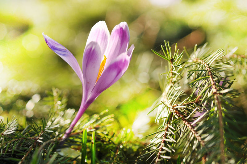 Purple crocus flower blooming in the spring Beauty In Nature Blooming Close-up Crocus Crocus Flower Crocuses Spring Crocusesinbloom Day Flower Flower Head Fragility Freshness Growth Meadow Nature Nature No People Outdoors Petal Pink Flower Plant Purple Flower Springtime Springtime Blossoms Violet