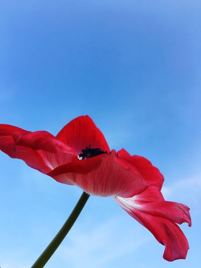 Looking Up Anemone Red Beauty In Nature Flower Flowering Plant Plant Freshness Petal Nature Fragility Flower Head Close-up Sky No People Inflorescence Day Low Angle View Blue Growth
