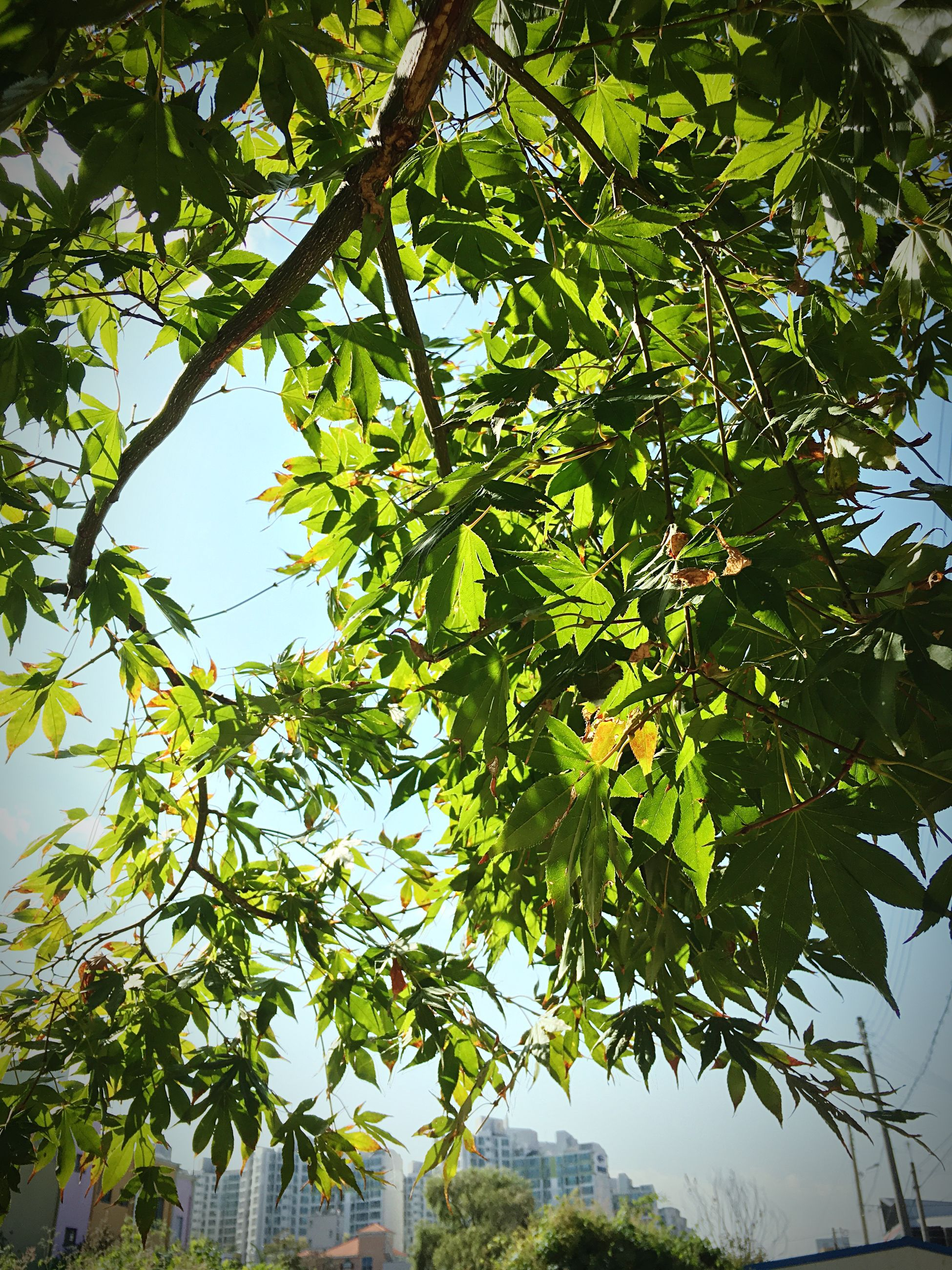 tree, low angle view, branch, growth, leaf, green color, nature, day, outdoors, sky, tranquility, beauty in nature, no people, built structure, plant, tree trunk, growing, lush foliage, clear sky, green