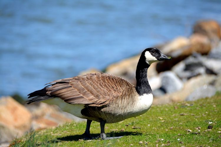 Animal Themes Animals In The Wild Beak Bird Check This Out Close-up Day Duck EyeEm Nature Lover Focus On Foreground Fowl Goose Grass Grassy Nature No People One Animal Outdoors Side View Taking Photos Taking Pictures This Week On Eyeem Water Wildlife