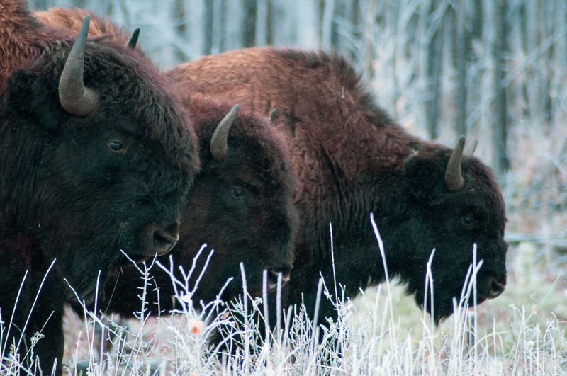 American bison on grassy field