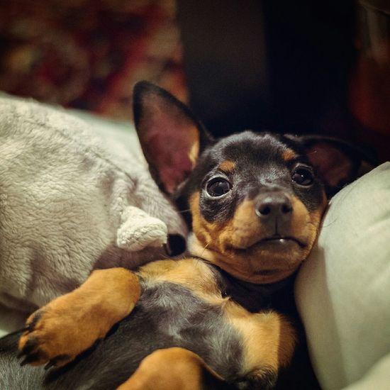 цвергпинчер Dog Cute Dogs Animals Соня