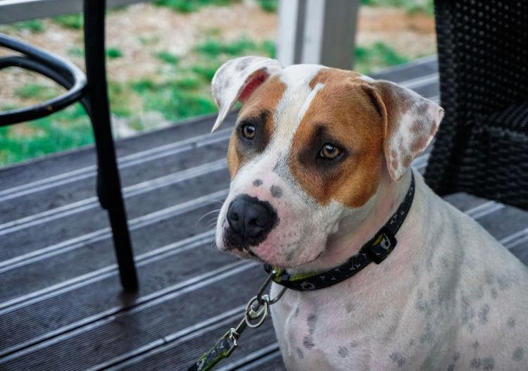 Close-up portrait of stafford dog