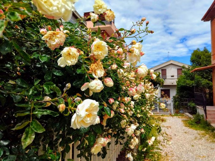 beautiful roses in the driveway Rose - Flower Roses Flowers  Roses White Flower White Rose White Roses Driveway Driveway Shot Flower Tree Sky Architecture Building Exterior Close-up Plant In Bloom Blooming Petal