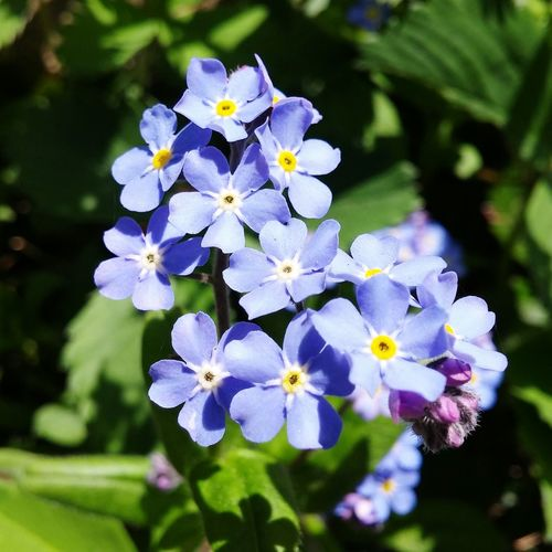 In My Garden Pacific Northwest  EyeEm Nature Lover Ladyphotographerofthemonth Forget Me Nots Blue Flowers Showcase April Beautiful Spring Washington Green Blue Wave