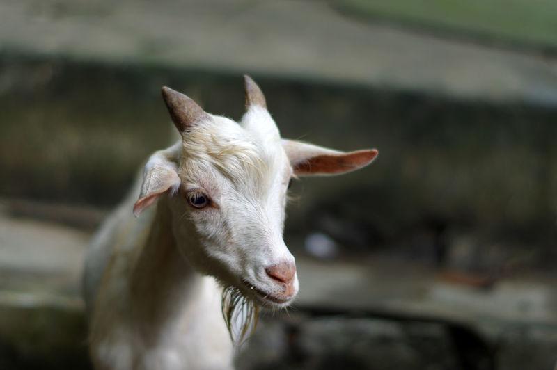 Portrait of white goat