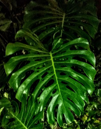 Green Color EyeEm Nature Lover Huge Leaves EyeEm Market © No People Outdoors Freshness Oahu, Hawaii USA