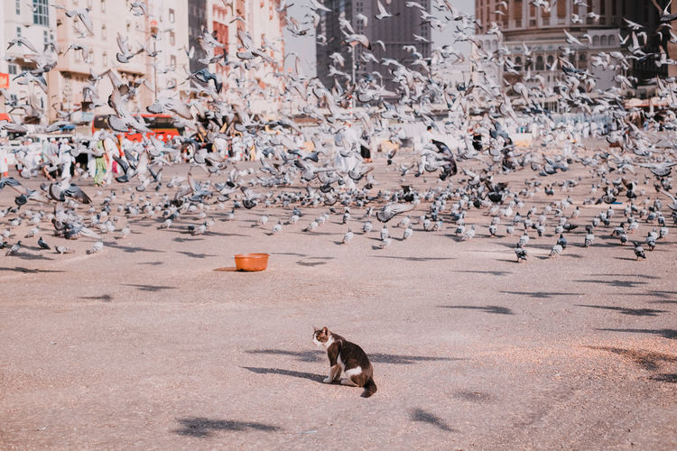 A cat and thousands of pigeon. Hunting Cat Pets Bird Spread Wings Pigeon Flock Of Birds