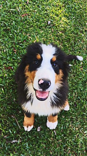 Happy Bernese Bernese Mountain Dog Domestic Animals Dog Looking At Camera Pets