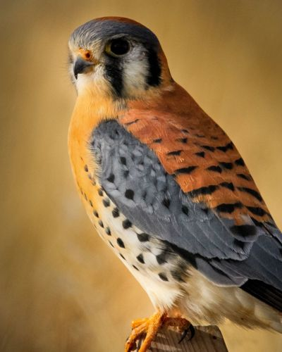 American kestrel perched against a beige background.