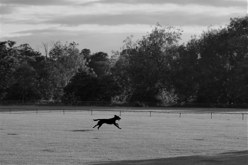 Dog running at speed across a field with a ball in its mouth. Plant Tree Sky Cloud - Sky Animal Themes Animal One Animal Canine Full Length Running Ball In The Mouth Mammal Vertebrate Stretched Sport Game Tennis Ball Retrieve Lifestyles Motion Motion Capture Capture The Moment Mouth Open Gripping Holding Returning Nature Beauty In Nature Scenics Nature No People Growth Branch Leaves Land Field Blackandwhite Mid Air Speed Fast Day Outdoors Sunlight Shadow Silhouette High Angle View Profile View Focus On Foreground Dog Backgrounds